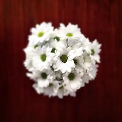 Daisy flower y la margarita. #flower #daisy #margarita #flores