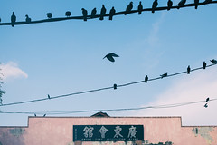 The Pigeons of KWONG TUNG ASSOC.
