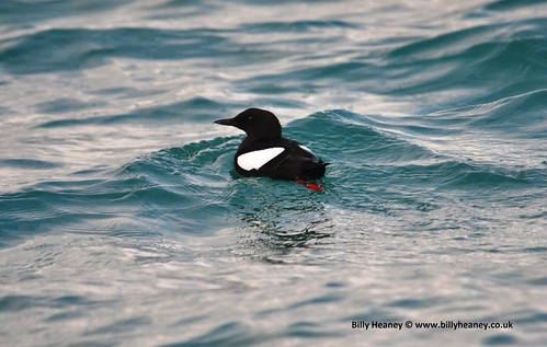 """Black Guillemot, Falmouth, 01:03:14 (B.Heaney) • <a style=""""font-size:0.8em;"""" href=""""http://www.flickr.com/photos/30837261@N07/13851770194/"""" target=""""_blank"""">View on Flickr</a>"""