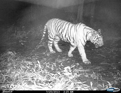 "Tiger- Camera trap picture from Shendurney Widlife Sanctuary • <a style=""font-size:0.8em;"" href=""http://www.flickr.com/photos/109145777@N03/13794537823/"" target=""_blank"">View on Flickr</a>"
