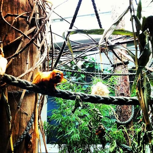 Löwenäffchen #ZOOBasel