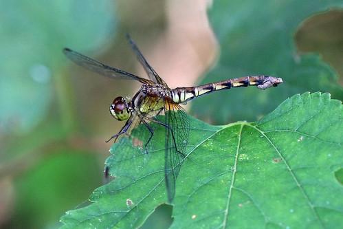 新治市民の森のマイコアカネ♀(Dragonfly, Niiharu Community Woods, Yokohama, Japan)
