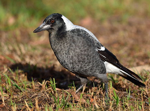 """Australian Magpie • <a style=""""font-size:0.8em;"""" href=""""http://www.flickr.com/photos/95790921@N07/9005720664/"""" target=""""_blank"""">View on Flickr</a>"""