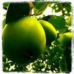 Apple,green,tree,Travemünde