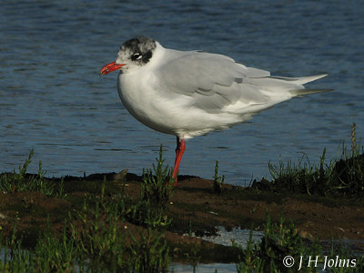 "Med Gull (J H Johns) • <a style=""font-size:0.8em;"" href=""http://www.flickr.com/photos/30837261@N07/10723268304/"" target=""_blank"">View on Flickr</a>"