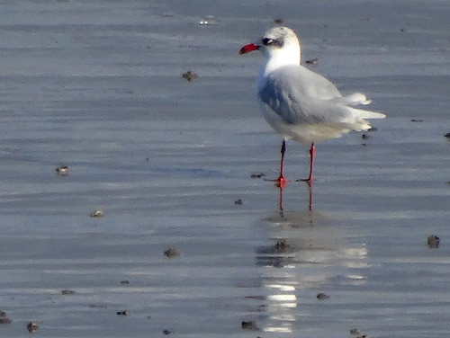 """Med Gull, Newlyn, 19.01.14 (G.Hobin) • <a style=""""font-size:0.8em;"""" href=""""http://www.flickr.com/photos/30837261@N07/12117138086/"""" target=""""_blank"""">View on Flickr</a>"""