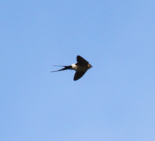"""Red-rumped Swallow, Marazion (P.Freestone) • <a style=""""font-size:0.8em;"""" href=""""http://www.flickr.com/photos/30837261@N07/14068677043/"""" target=""""_blank"""">View on Flickr</a>"""