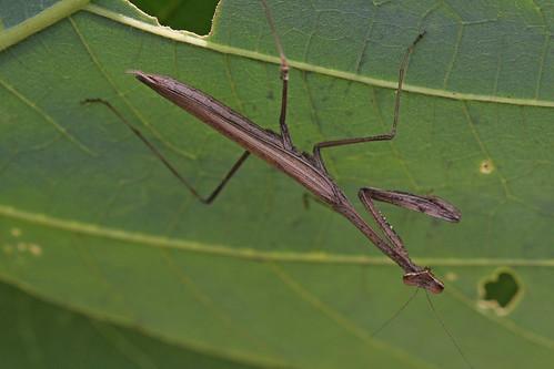 新治市民の森のコカマキリ(Mantis, Niiharu Community Woods, Yokohama, Japan)