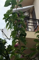 Magnolia infloreste din nou