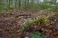 Bluets on trail