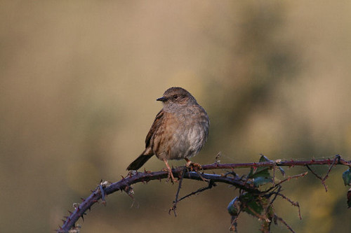 "Dunnock • <a style=""font-size:0.8em;"" href=""http://www.flickr.com/photos/30837261@N07/10723530563/"" target=""_blank"">View on Flickr</a>"
