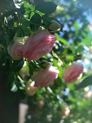 Rose, Pierre de Ronsard, バラ, ピエール ド ロンサール,
