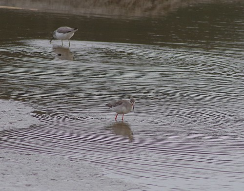"Spotted Redshank, Truro, 02.02.15 (A.Nicholson) • <a style=""font-size:0.8em;"" href=""http://www.flickr.com/photos/30837261@N07/16339770599/"" target=""_blank"">View on Flickr</a>"