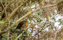 Robin in gorse bush