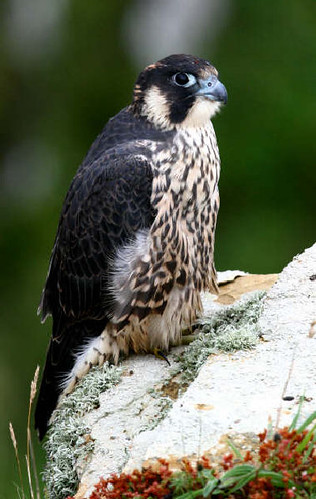 "Peregrine • <a style=""font-size:0.8em;"" href=""http://www.flickr.com/photos/30837261@N07/10722515596/"" target=""_blank"">View on Flickr</a>"