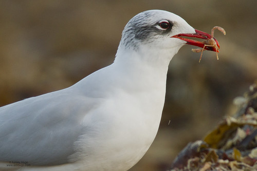 """Med Gull, St Ives, 25.01.14 (A.Hugo) • <a style=""""font-size:0.8em;"""" href=""""http://www.flickr.com/photos/30837261@N07/12153515266/"""" target=""""_blank"""">View on Flickr</a>"""