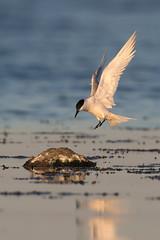 Sandwich Tern | kentsk tärna  | Thalasseus sandvicensis