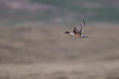Northern Pintail | stjärtand | Anas acuta