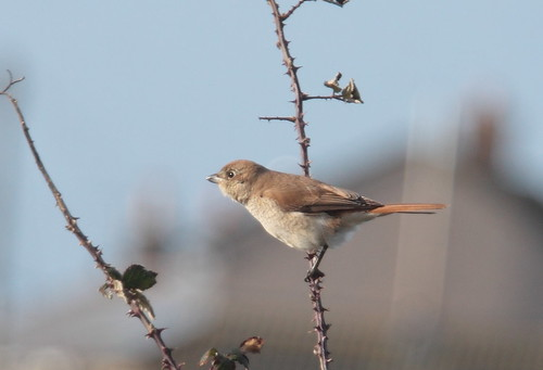 """Isabelline Shrike, Pendeen, 14.11.14 M.Halliday • <a style=""""font-size:0.8em;"""" href=""""http://www.flickr.com/photos/30837261@N07/15849861685/"""" target=""""_blank"""">View on Flickr</a>"""