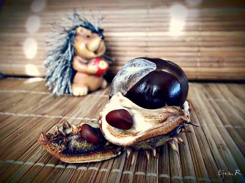 Chestnut hedgehog Süni Gesztenye