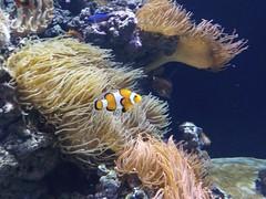 Némo à l'Aquarium Lisbonne