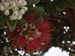 New Zealand Christmas tree (pohutukawa)