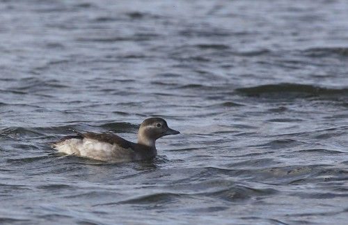 "Long-tailed Duck, Falmouth, 04.11.14(L.Richardson) • <a style=""font-size:0.8em;"" href=""http://www.flickr.com/photos/30837261@N07/15772159475/"" target=""_blank"">View on Flickr</a>"