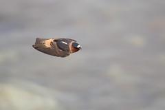 American Cliff Swallow   stensvala   Petrochelidon pyrrhonota