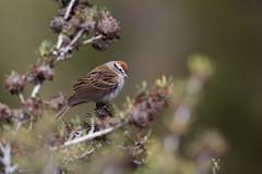Chipping Sparrow | tjippsparv | Spizella passerina