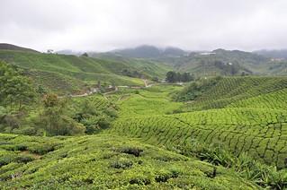 cameron highlands- malaisie 15