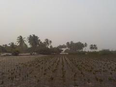 Jeunes pousses de Mangrove
