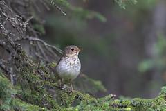 Swainson's Thrush   beigekindad skogstrast   Catharus ustulatus