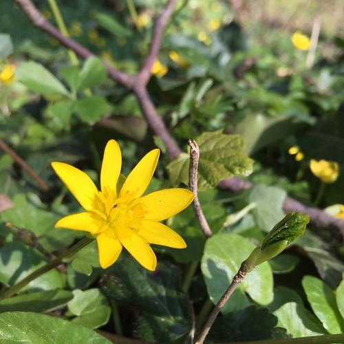 Achtstern #Blume