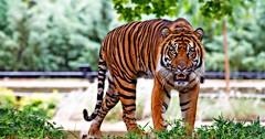 """Der Tiger. Die Tiger. Dieser Tiger sieht gefährlich aus. • <a style=""""font-size:0.8em;"""" href=""""http://www.flickr.com/photos/42554185@N00/28393634442/"""" target=""""_blank"""">View on Flickr</a>"""