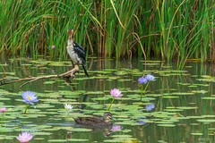 Waterlilies and birds