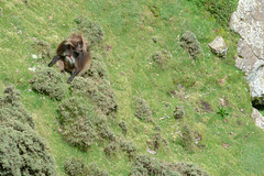The gelada adventure