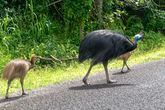 Cassowary and chicks