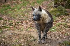 Hyena čabraková (Parahyaena brunnea)