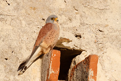Lesser Kestrel | rödfalk | Falco naumanni