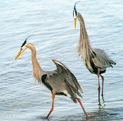 SONY- A9, Great Blue Herons, 1914, 1-6400, f8, ISO 2500, 100-400 @237