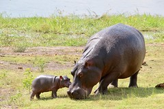 Mother and Baby Hippos - Chobe National Park