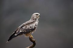 Black Kite | brun glada | Milvus migrans