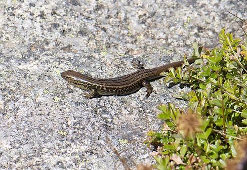 "Eulamprus kosciuskoi - Thredbo, NSW • <a style=""font-size:0.8em;"" href=""http://www.flickr.com/photos/95790921@N07/32484656097/"" target=""_blank"">View on Flickr</a>"