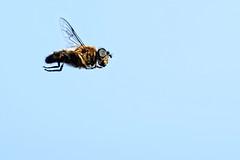 Hoverfly A7300028_DxO