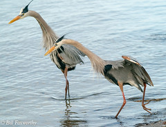 SONY- A9, Great Blue Herons, 1902, 1-6400, f8, ISO 2500, 100-400 @237