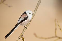 Long-tailed Tit | stjärtmes | Aegithalos caudatus