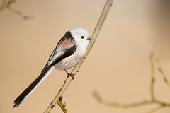 Long-tailed Tit | stjärtmes | Aegithalos caudatus