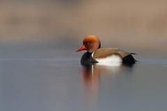 Red-crested Pochard | rödhuvad dykand | Netta rufina