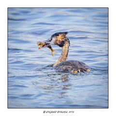When the boat comes in - Grebe with freshly caught Perch