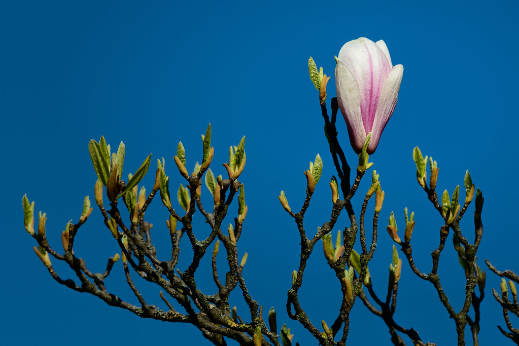 Magnolie by OK's Pics